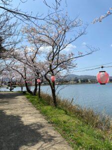離れ湖の桜